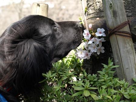 桜の香.JPG